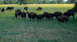 Page Image: Field of Buffalo